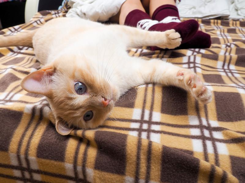 Die Katze, die auf Sofa im Wohnzimmer verziert wird für Weihnachten, weibliche Beine im Weihnachten liegt, trifft, nahe bei der K stockfotografie