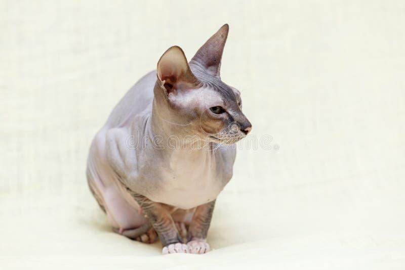 Die Katze Donskoy Sphynx stockbilder