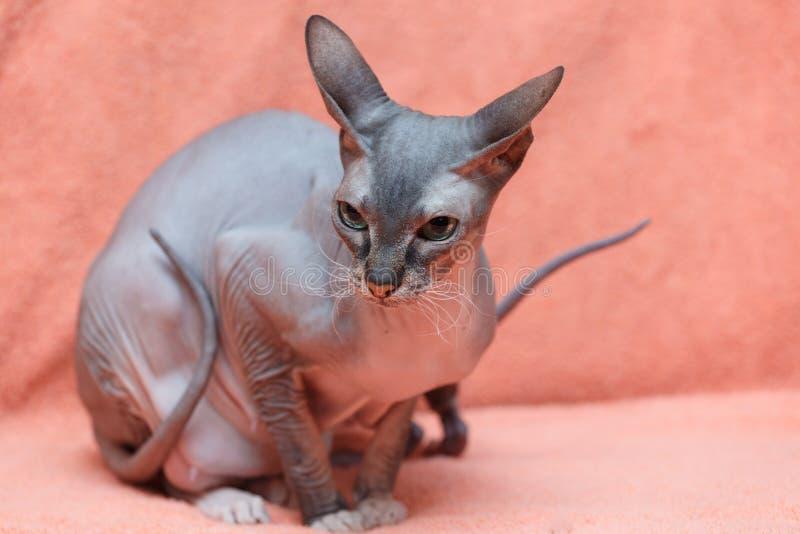 Die Katze Donskoy Sphynx stockfoto