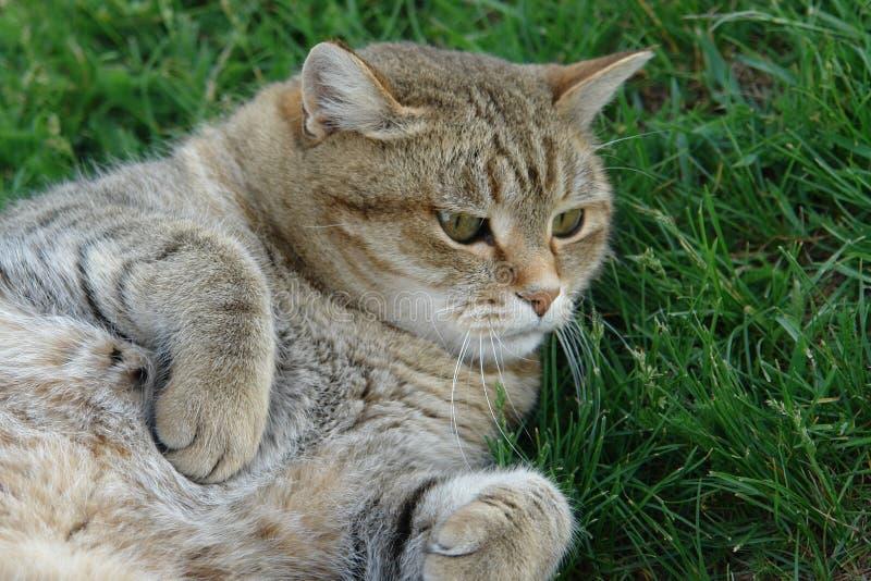 Die Katze liegt auf dem grünen Gras an einem warmen Tag stockfotografie