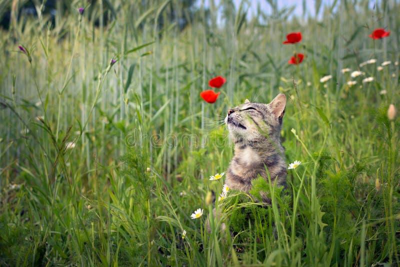 Die Katze, die Mohnblumen riecht, blüht auf einem Weizengebiet stockfotografie