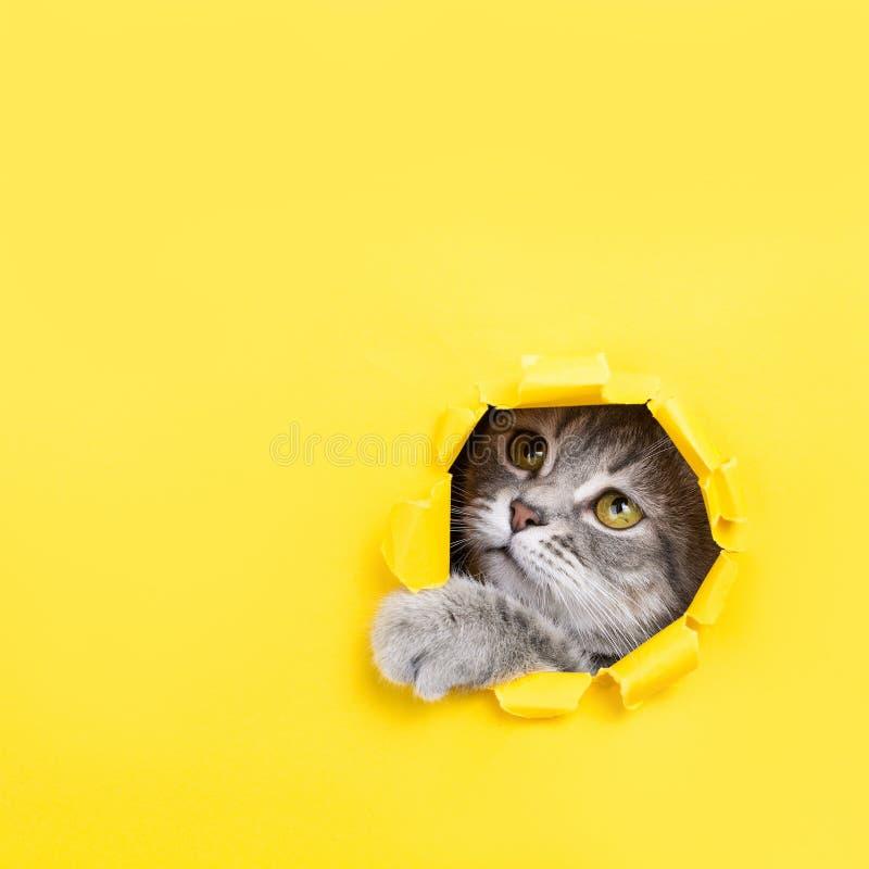 Die Katze schaut durch ein heftiges Loch im gelben Papier Spielerische Stimmungsmiezekatze Ungewöhnliches Konzept, Kopienraum stockbild