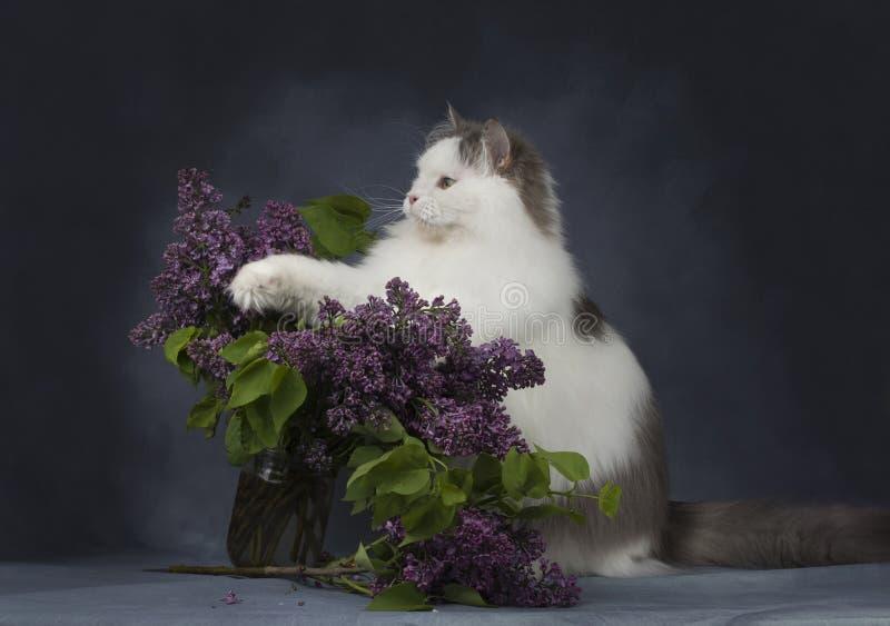 Die Katze spielt mit einem Blumenstrauß von Fliedern stockfotografie