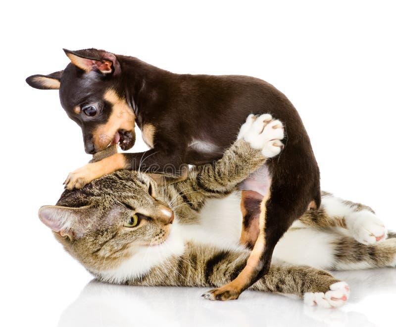 Die Katzenkämpfe mit einem Hund. lizenzfreie stockbilder