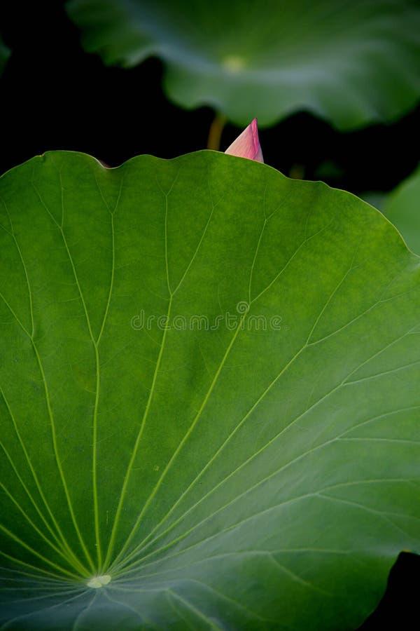 Die kleine Knospe wird hinter dem Lotosblatt, wie einem frechen Mädchen versteckt stockbilder