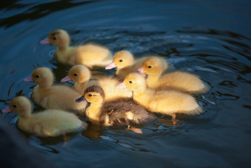 Die kleinen Entlein, die im Teich am Morgen schwimmen, beleuchten Frei-ließ laufen stockfotografie