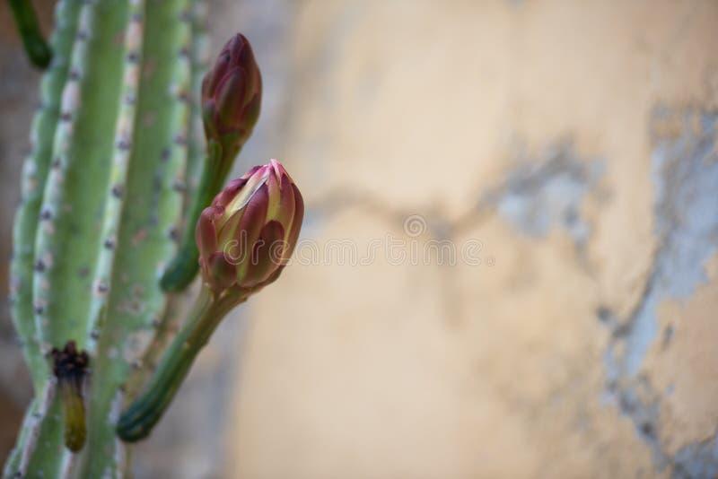 Die Knospe auf dem Stamm eines Kaktus auf einem Hintergrund von hellgelben Wänden mit Sprung stockfotos