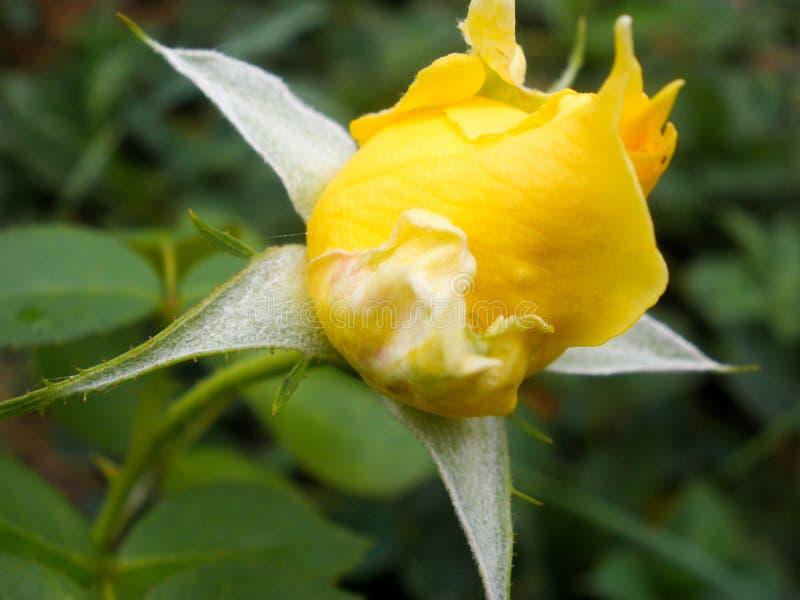 Die Knospe einer gelben Rose blüht nicht Junger Sprössling stockbild
