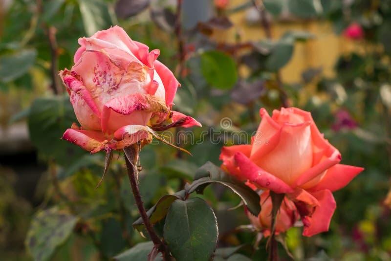 Die Knospen des Scharlachrots, Rosen in den Blumenbeeten eines Privathauses im Herbst trocknend lizenzfreie stockfotos