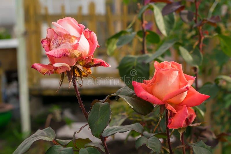 Die Knospen des Scharlachrots, Rosen in den Blumenbeeten eines Privathauses im Herbst trocknend stockbild