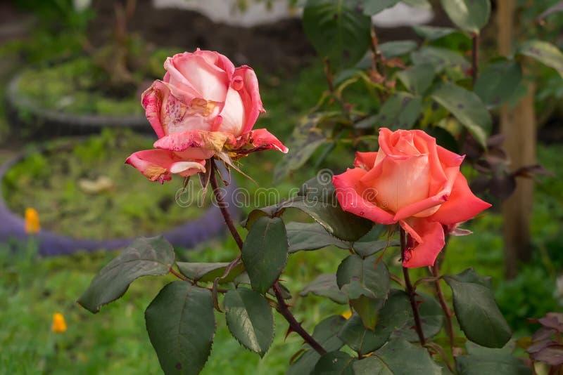 Die Knospen des Scharlachrots, Rosen in den Blumenbeeten eines Privathauses im Herbst trocknend lizenzfreies stockfoto