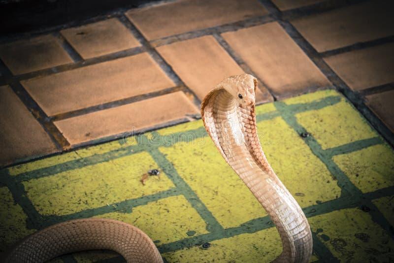 Die Kobra verbreitete die Haube stockbild