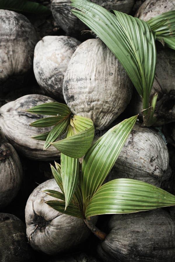 Die Kokosnuss lizenzfreie stockfotos