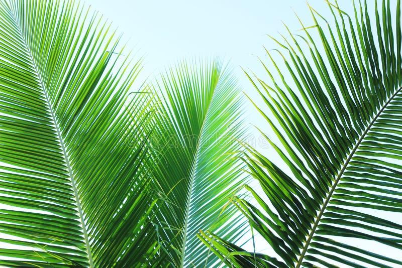 Die Kokosnuss verlässt mit Hintergrund des blauen Himmels lizenzfreies stockfoto