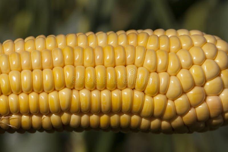 Die Kornähre Mais stockfotografie
