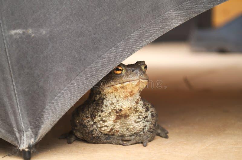 Die Kröte ist unter dem alten Regenschirm stockbild