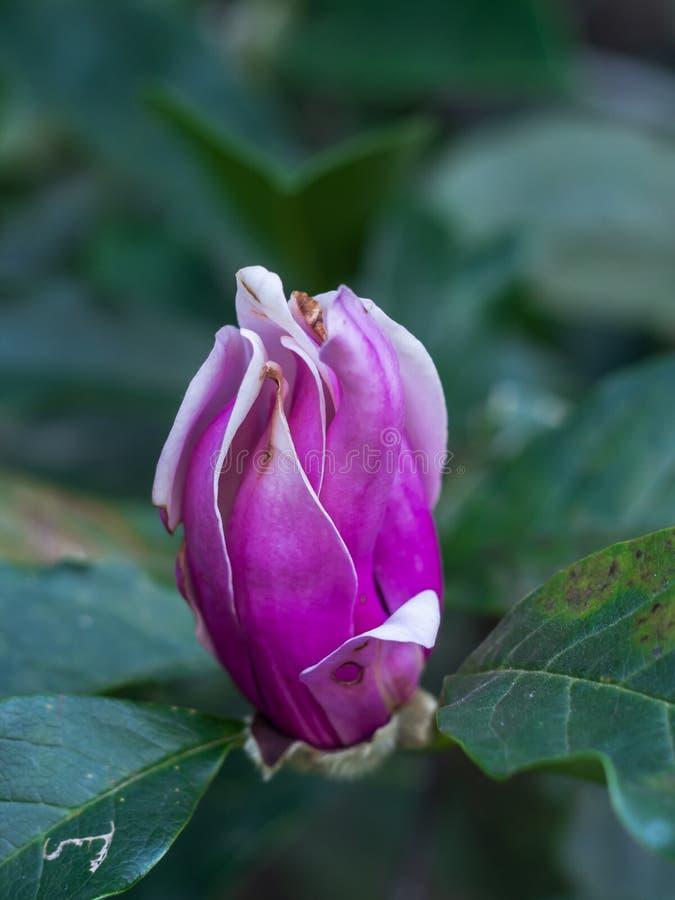 Die Krankheit auf den Blättern und den Blumen der Magnolie stockfotografie