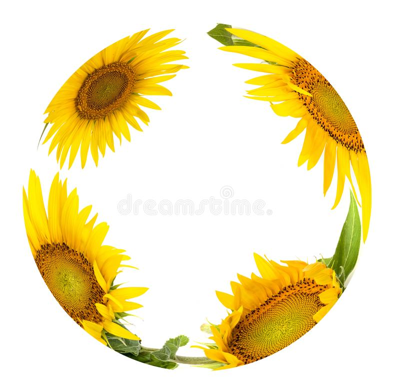 Die Kreis fom Sonnenblumen lizenzfreie stockfotografie