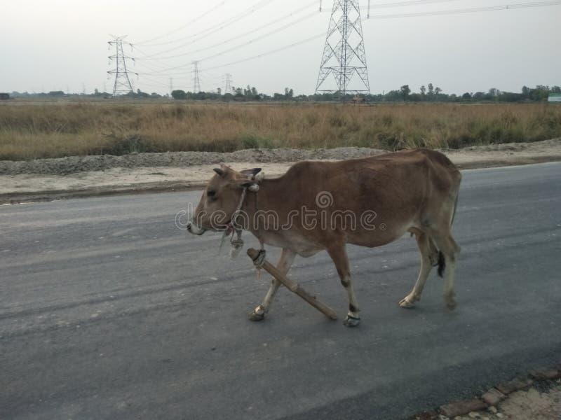Die Kuh stockbild
