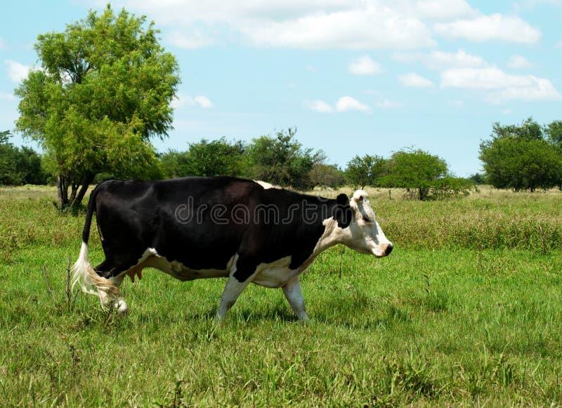Die Kuh auf dem Gras stockbilder