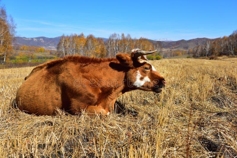 Die Kuh auf der Wiese im Herbst stockbild