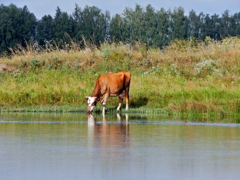 Die Kuh ist durstig stockbild
