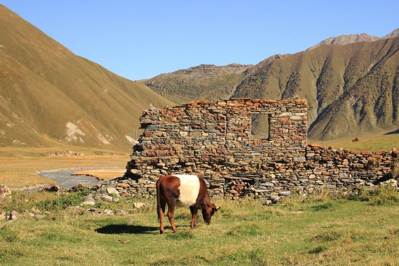 Die Kuh in Truso-Schlucht (Georgia) lizenzfreie stockfotografie