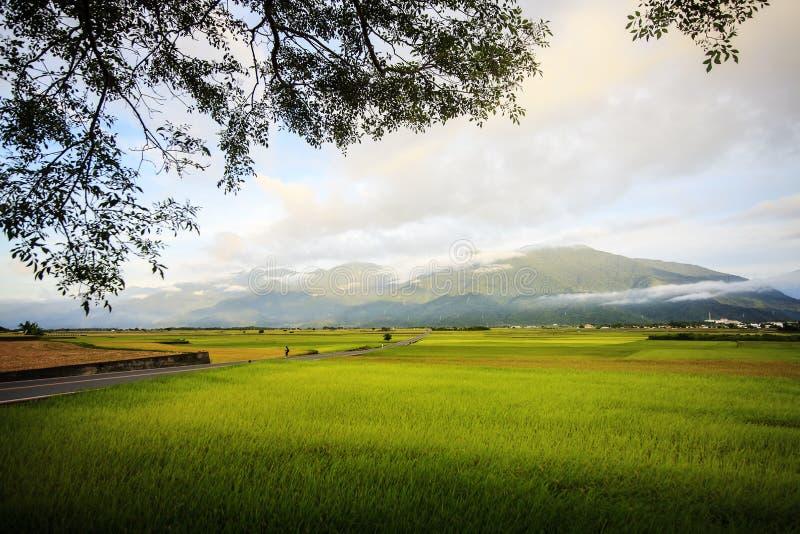 Die ländliche Landschaft mit goldenem Bauernhof des ungeschälten Reises bei Luye, Taitung, Taiwan stockfotografie