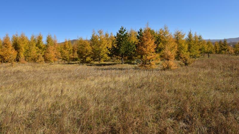Die Lärche auf der Wiese im Herbst lizenzfreies stockbild