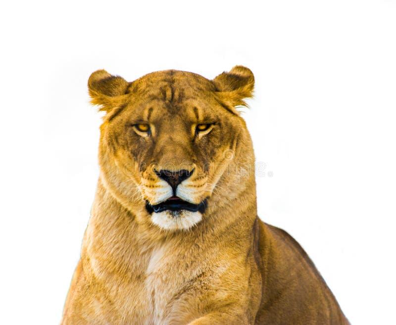 Die Löwin lizenzfreie stockfotos
