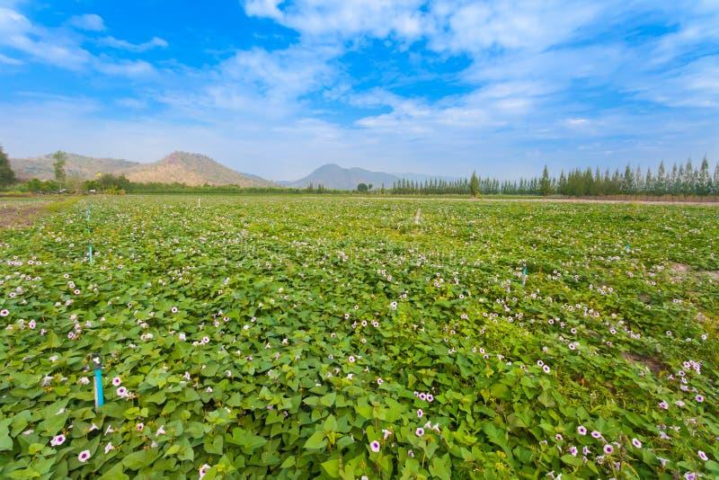Die Landschaft des Süßkartoffelbauernhofes lizenzfreie stockbilder