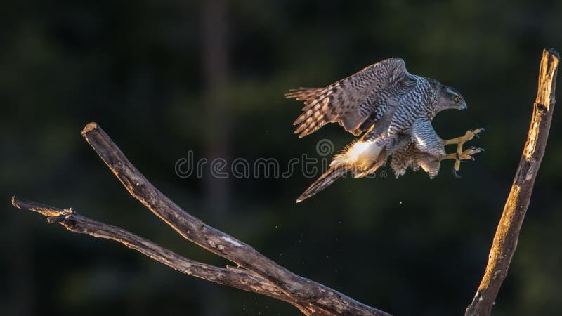 Die Landung des Nordhühnerhabichts stockfotografie