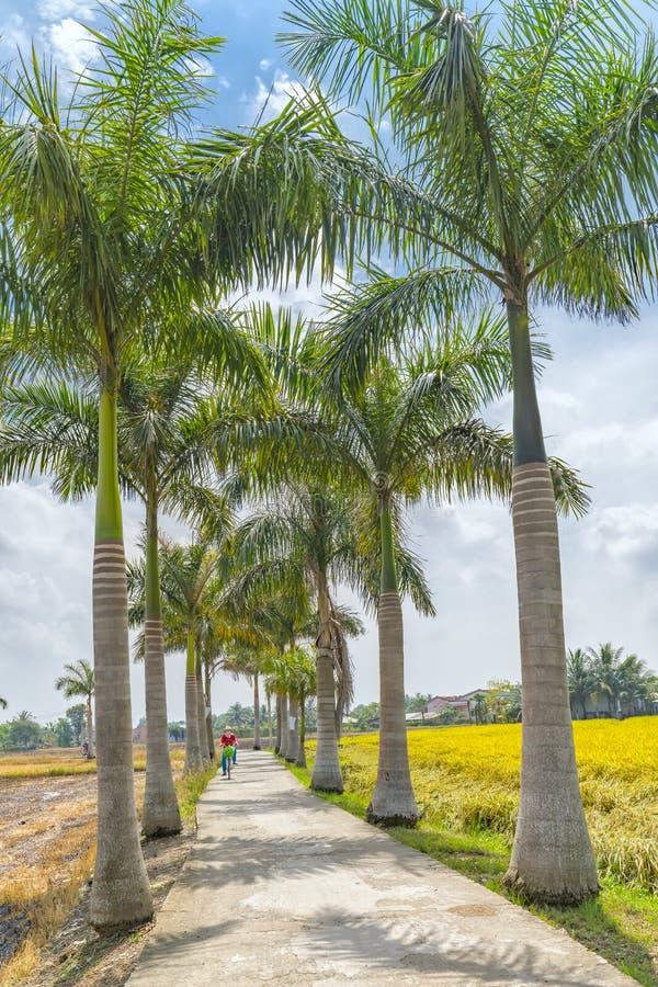 Die Landwirte, die auf Straßen fahren, pflanzten Bäume Kubaner-Königpalme lizenzfreies stockbild