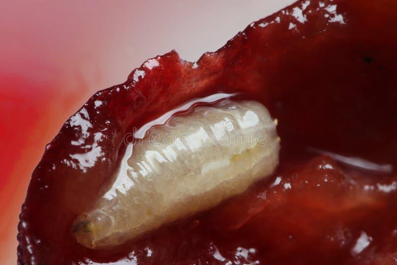 Die Larve der europäischen Kirschfruchtfliegenmakroskala innerhalb der Kirsche lizenzfreies stockfoto