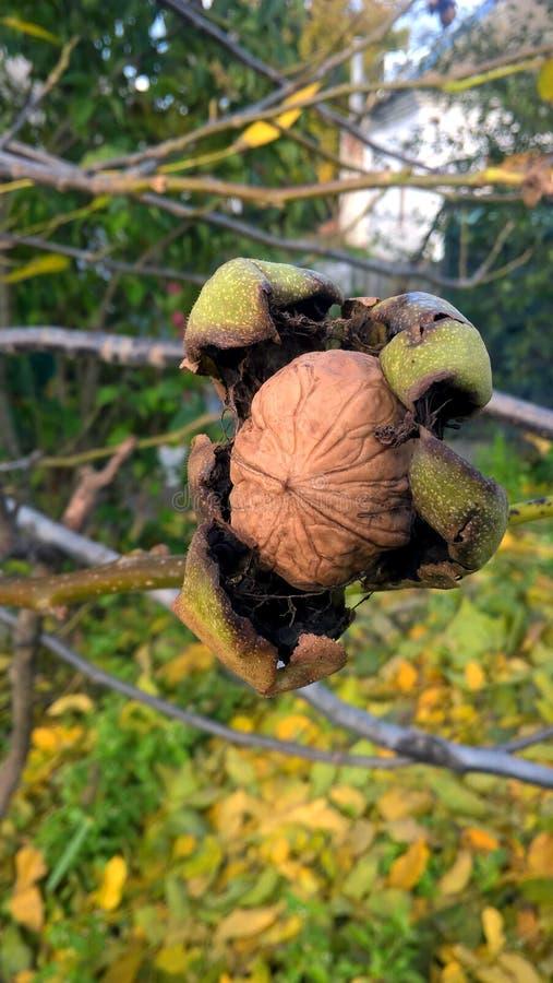 Die letzte Frucht auf einem enormen Baum stockbild