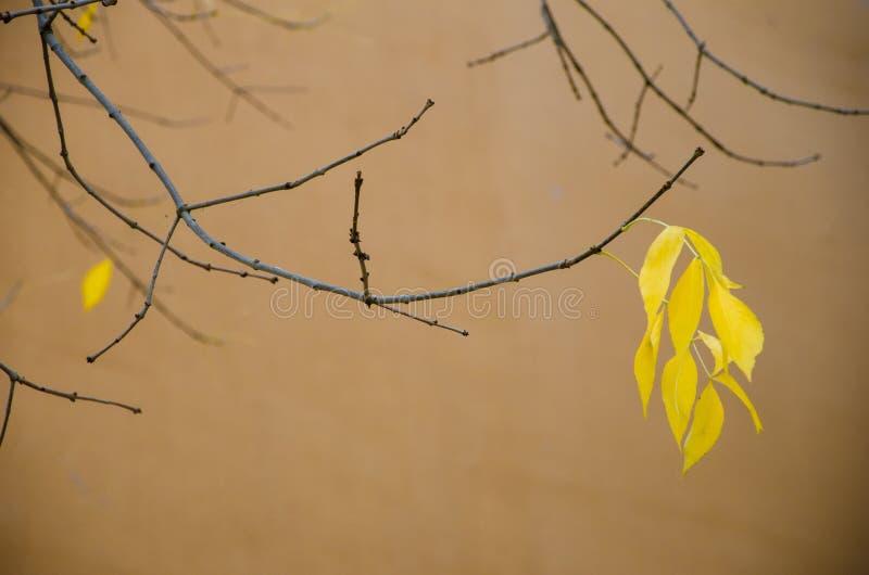 Die letzten Blätter, die von den Baumasten bevor dem Fallen während der Herbstsaison, gelbe Farben auf dem Blatt wartet zu hängen stockfotos