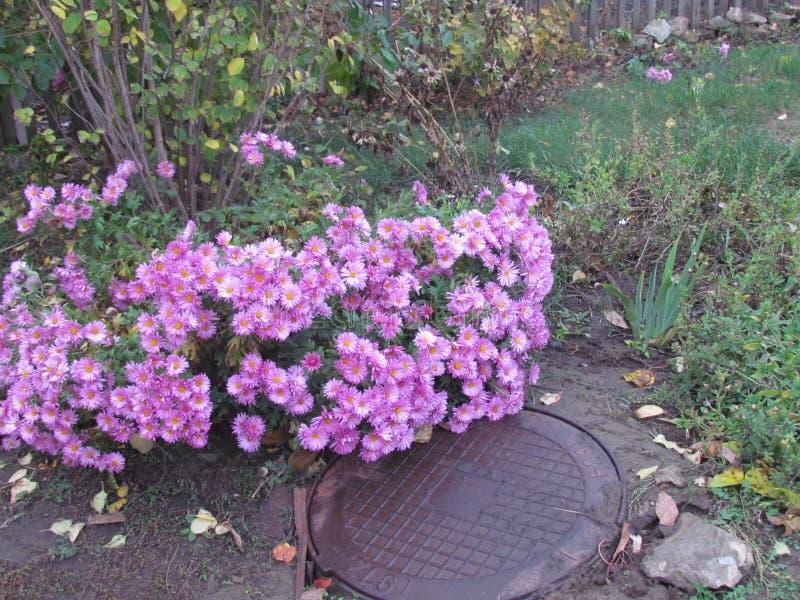 Die letzten Blumen des Herbstes stockfotos