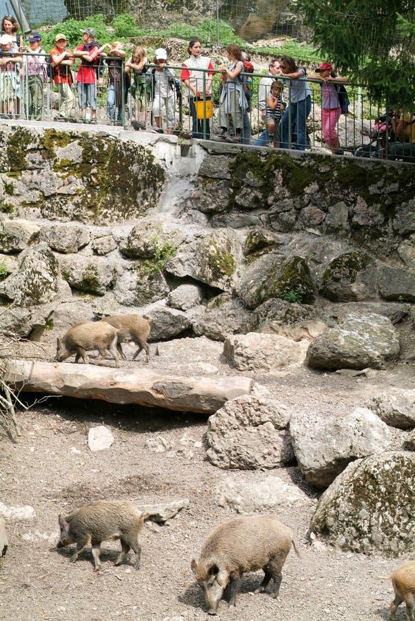 Die Leute, die wilden Eber betrachten, leben im Zoo in Herden stockfotos