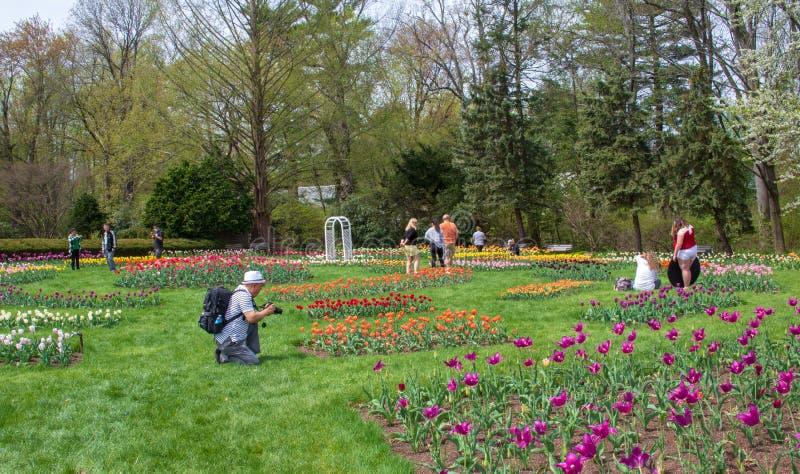 Die Leute, welche die Tulpe genießen, arbeiten in Elizabeth Park, West-Hartford, Connecticut im Garten stockfoto