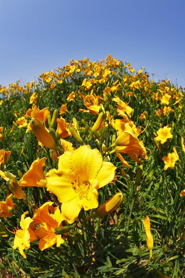 Die Lilien im Früjahr stockfotografie