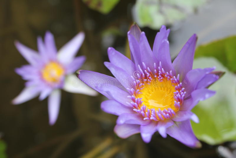 Die Lotosblumen stockfotos