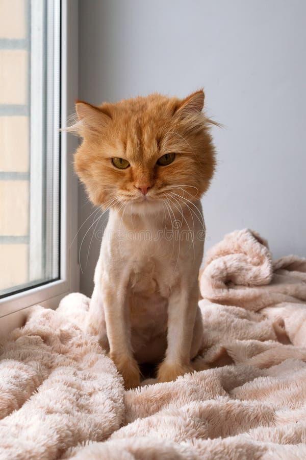 Die lustige Ingwerlanghaarkatze, die mit Haarschnitt gepflegt wird, sitzt auf einer weichen Decke stockfotos