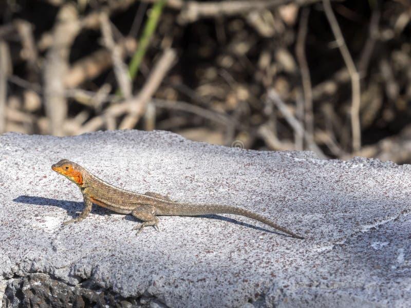 Die männliche Galapagos-Lavaeidechse, Microlophus-albemarlensis, ist zur Galapagos-Insel endemisch Santa Cruz, Galapagos, Ecuador lizenzfreies stockbild