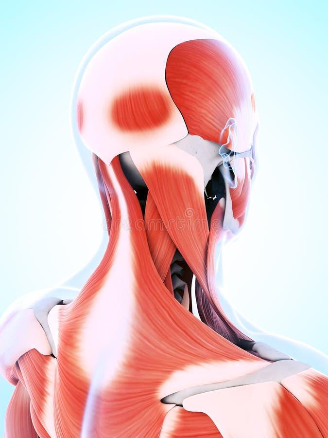 Die männliche Muskulatur stock abbildung