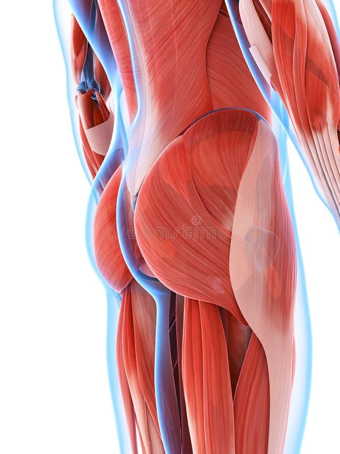 Die männliche Muskulatur lizenzfreie abbildung
