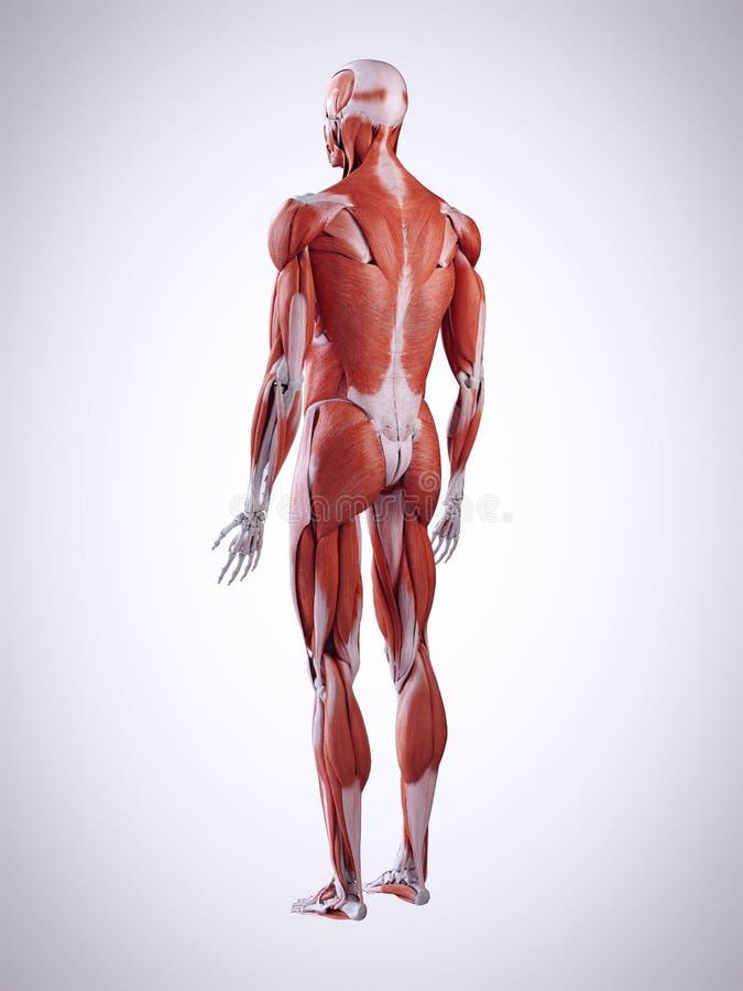 die männlichen Muskeln lizenzfreie abbildung