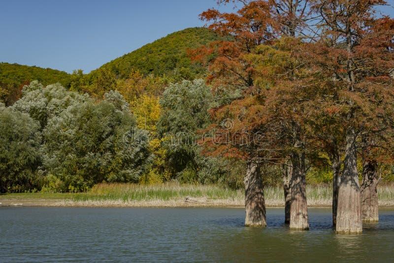 Die Magie von Sumpfzypresse Taxodium distichum erscheint im Fall Die roten und orange Zypressennadeln werden in einem Türkis refl stockfoto