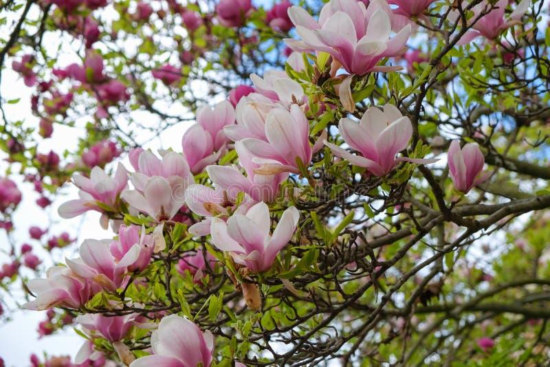 Die Magnolienblüte lizenzfreies stockbild