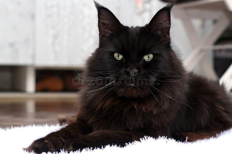 Die Maine Coon-Katze Livenatur lizenzfreie stockbilder