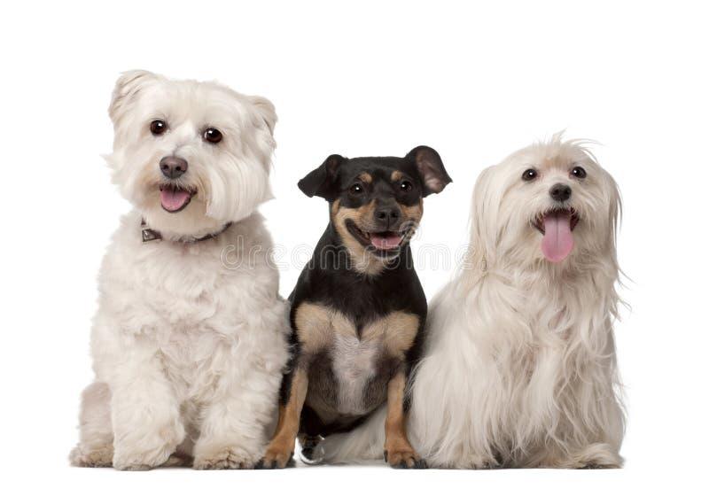 Die maltesischen alt Hunde, 9 Jahre und Misch-züchten lizenzfreies stockfoto